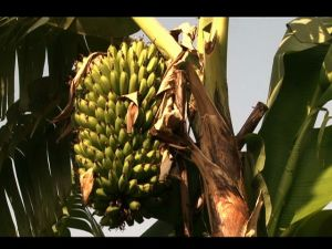 Commercial Banana Farming