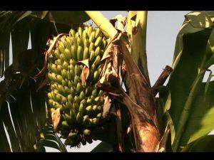 Commercial Banana Farming